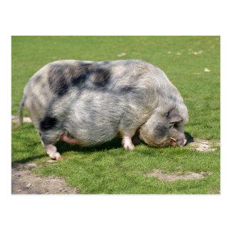 Minipig on grass postcard