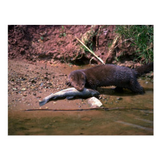 Mink with small fish postcard