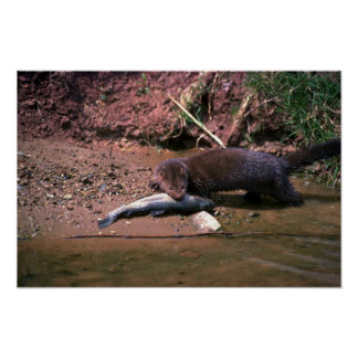 Mink with small fish poster