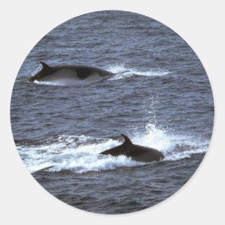 Minke whale classic round sticker