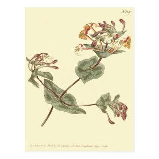 Minorca Honeysuckle Yellow Illustration Postcard