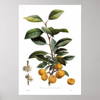 Mirabelle plum (Prunus x domestica var. syriaca) Posters