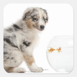 Mirada australiana azul del perrito del pastor de pegatinas cuadradas personalizadas