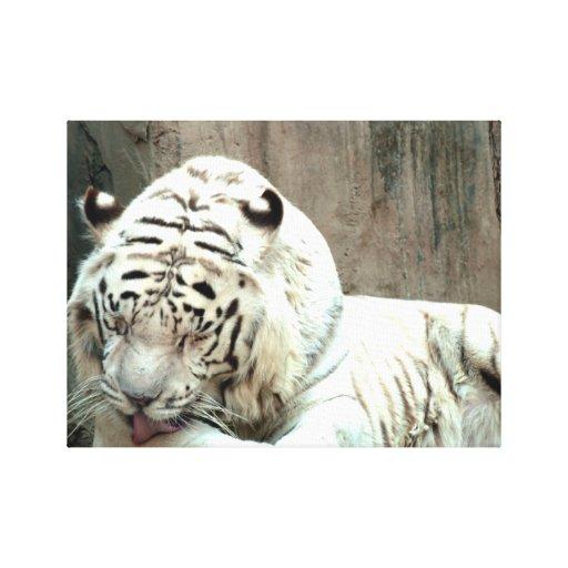 Mirada blanca de los tigres impresión de lienzo