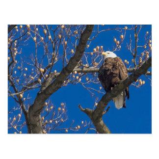 Mirada de Eagle calvo Postal