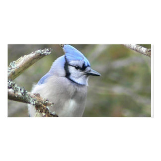 Mirada del arrendajo azul tarjeta fotografica personalizada