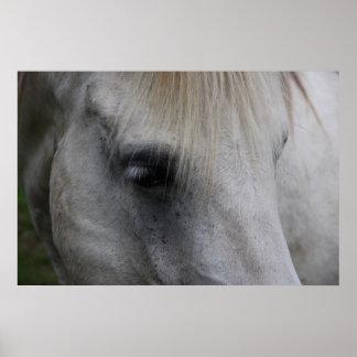 Mirada del caballo blanco de la sabiduría - poster