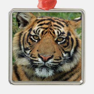 mirada del cachorro de tigre adelante a la mamá y adornos