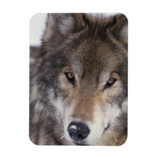 Mirada del lobo iman de vinilo