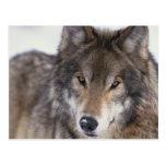 Mirada del lobo postales