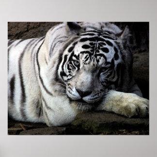 Mirada fija blanca del tigre posters