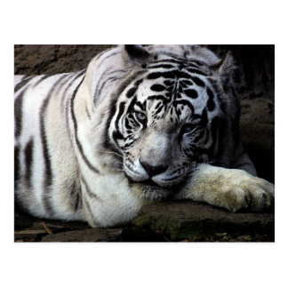 Mirada fija blanca del tigre tarjeta postal