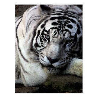 Mirada fija blanca del tigre tarjetas postales
