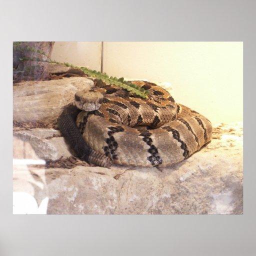 Mirada fija de la serpiente del traqueteo póster
