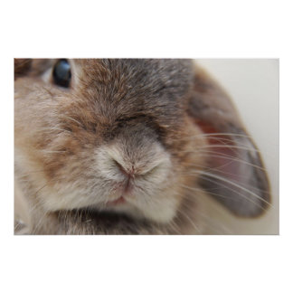 Mirada fija del conejito (impresión) póster
