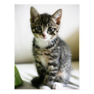 Mirada fija del gatito tarjetas postales