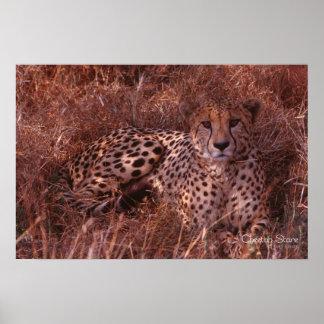 Mirada fija del guepardo impresiones