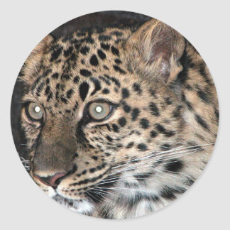 Mirada fija del leopardo pegatina redonda