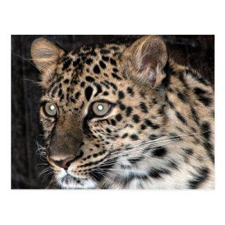 Mirada fija del leopardo postal