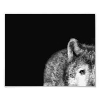 Mirada fija del lobo gris - impresión blanco y neg fotografía