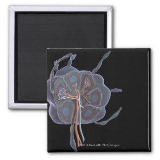 Mirada magnificada de un ganglio linfático imán cuadrado