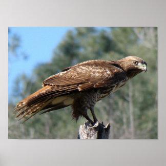 mirada Rojo-atada del halcón Póster