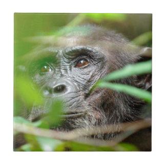 Mirada salvaje del chimpancé (trogloditas de la azulejos ceramicos