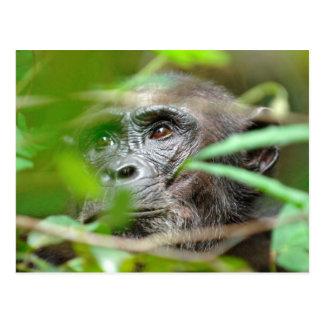 Mirada salvaje del chimpancé (trogloditas de la tarjetas postales