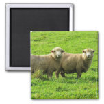 miradas fijas de las ovejas imán cuadrado