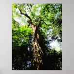 Mirando para arriba el árbol grande en el bosque - poster