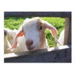Mirar a escondidas la postal de la cabra