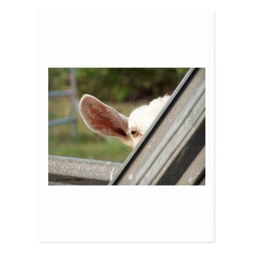¡Mire a escondidas una cabra del blanco del Tarjeta Postal