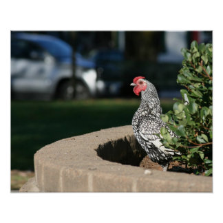 """""""Mire hacia fuera"""", gallo Poster"""