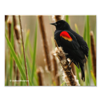 Mirlo de alas rojas en el pantano cojinete