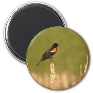 Mirlo de alas rojas imán redondo 5 cm