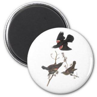 Mirlo de alas rojas, Juan Audubon Imán Redondo 5 Cm