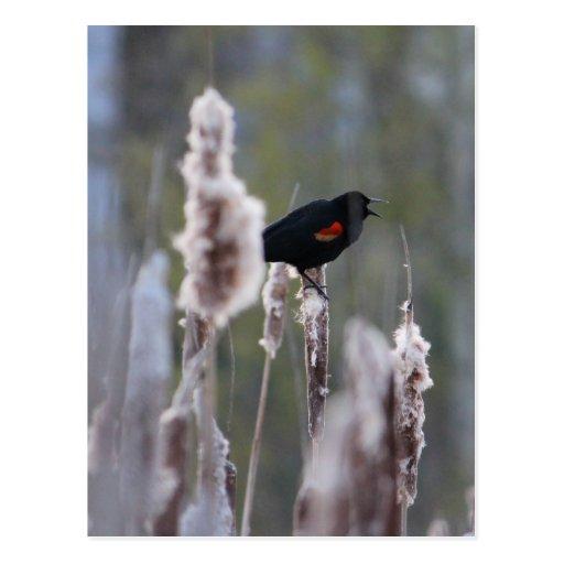 Mirlo de alas rojas (phoeniceus del Agelaius) Postal