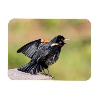 Mirlo de alas rojas que canta imanes de vinilo