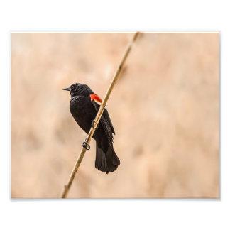 Mirlos de alas rojas en la fotografía de las cañas fotografía