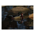 Mirrored Wood Duck Poster