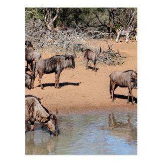 Miscellaneous - Blue Wildebeest Pattern Postcard