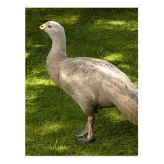 Miscellaneous - Cape Barren Goose Shadows & Light Postcard