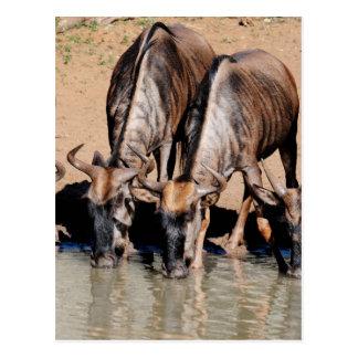 Miscellaneous - Drinking Blue Wildebeest Pattern Postcard