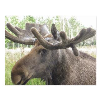 Mischievious Moose Postcard
