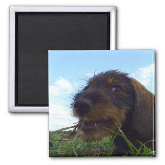 Mischievous Dachshund Puppy 2 Inch Square Magnet