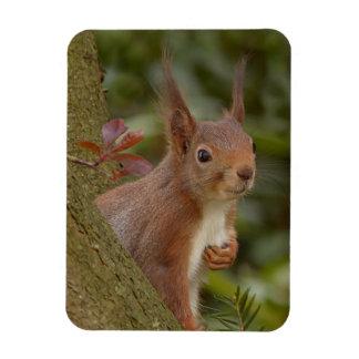 Mischievous Red Squirrel Rectangular Photo Magnet