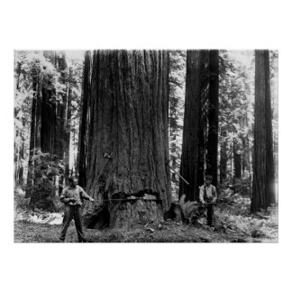 MISERY WHIPPING a SEQUOIA c. 1900 Poster