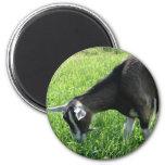 Misha the Goat Magnets