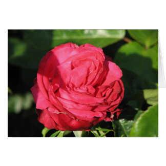 Miss All-American Beauty Hybrid Tea Rose 097 Card