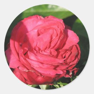 Miss All-American Beauty Hybrid Tea Rose 097 Classic Round Sticker